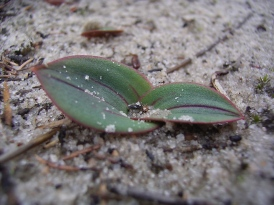 Leporella fimbriata